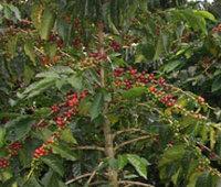 <p>Planta Variedad Castillo®</p>