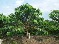 cultivemos café planta www